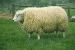 TEXEL TEXEL CROISEMENT Iteressant Béliers POUR LA BREBIS TEXEL AGNELLES AGNEAUX BELIER ARR/ARR MOUTON RACE TEXEL moutons ovins moton ovin texel français texe11-150x100