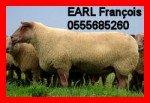 rougedelouestram3-150x103 brebis bélier