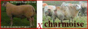 MOUTON Bélier brebis agnelles charmois charmoise SCHAF Widder Schaf Lämmer SHEEP MUTTON Aries ewe ewe lambs Pecora Ariete pecora agnelle charmois charmoise