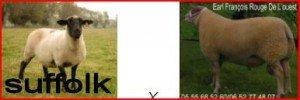 MOUTON Bélier brebis agnelles suffolk SCHAF Widder Schaf Lämmer SHEEP MUTTON Aries ewe ewe lambs Pecora Ariete pecora agnelle suffolk