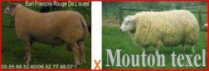 MOUTON Bélier brebis agnelles texel SCHAF Widder Schaf Lämmer SHEEP MUTTON Aries ewe ewe lambs Pecora Ariete pecora agnelle texel الغنم أو الضأنباريس و المنطقة المحيطة Aries ايوى ايوى الأغنام