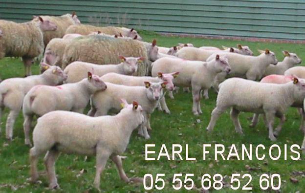 EARL François Rouge De L'ouest sélectionneur Bélier brebis agnelles ro+
